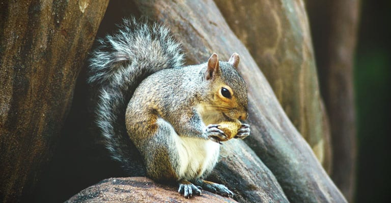 A North Eastern Squirrel
