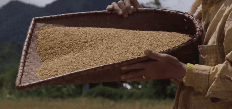 Highland rice being hand winnowed (removing the dust and chaff from the grain) at Bario in the process of sun-drying.]