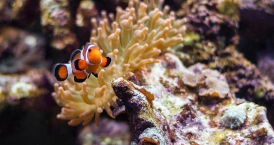 Keep your friends close and your anemones closer