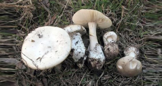 Deadly mushroom identified in south west