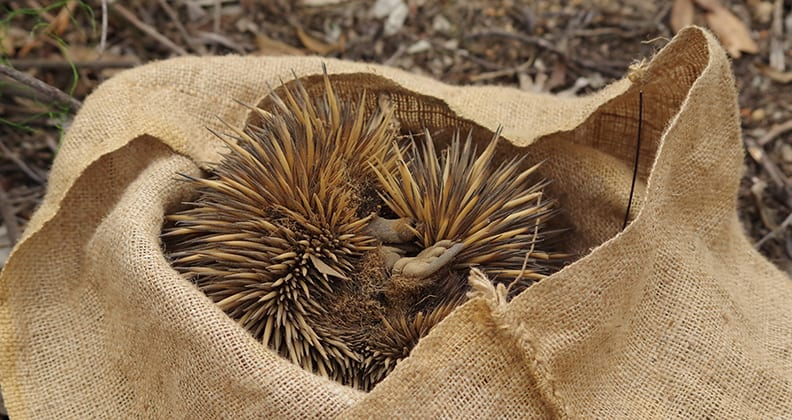 An echidna is upside-down in a hessian bag, its little feet sticking up in the air.
