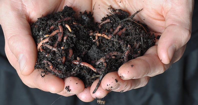 Close-up of hands holding soil containing worms.