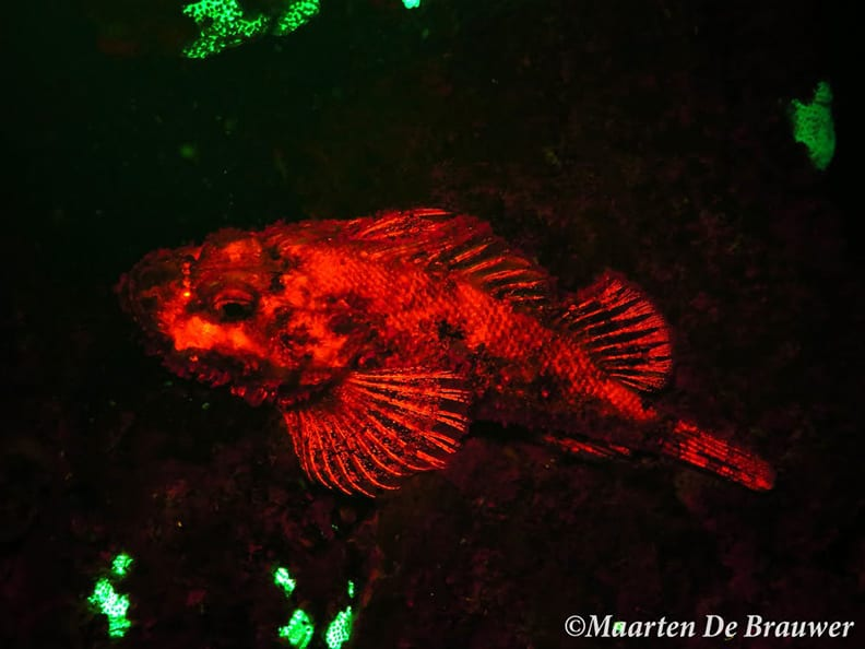 Scorpionfish captured with its biofluorescence.
