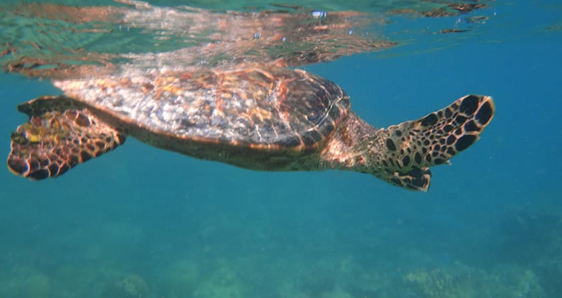 A turtle swims just beneath the water's surface.