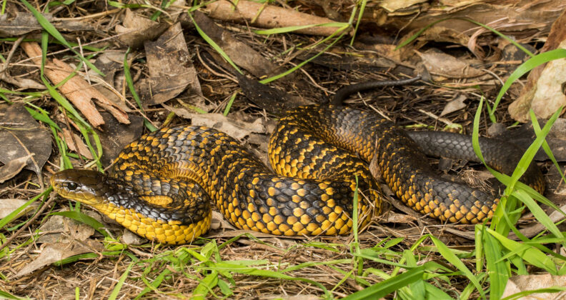 Image for Sick snakes a cause of concern for Perth's wetlands
